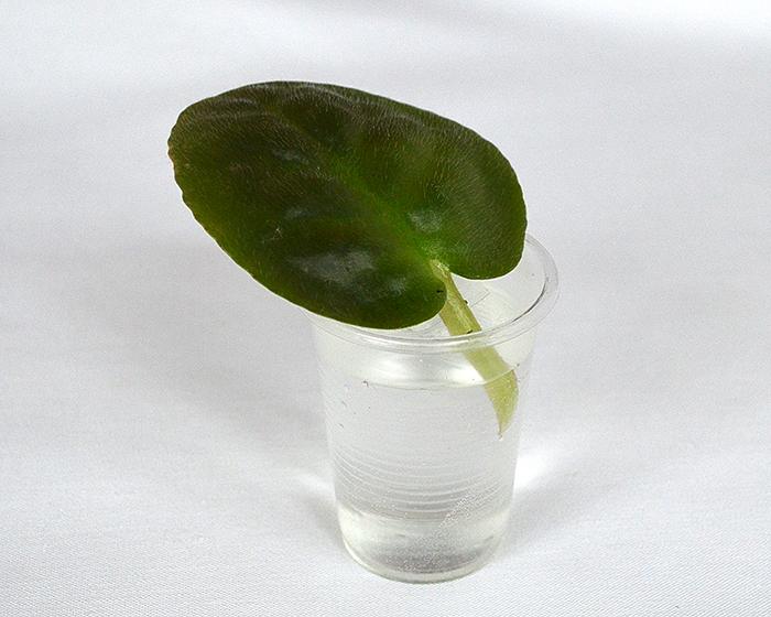 Укоренение листка фиалки в воде