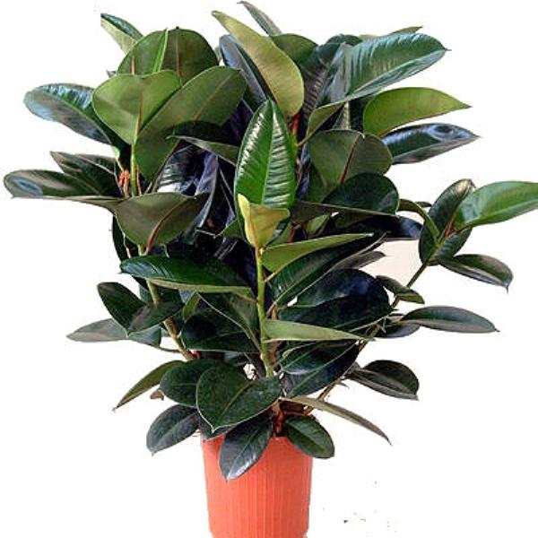 Фикус декоративно-лиственный