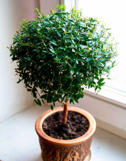 Мирт комнатное растение уход